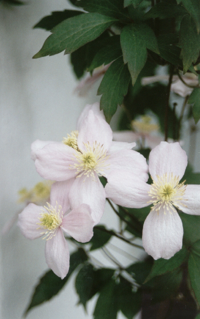 Clematis  Silk Flowers
